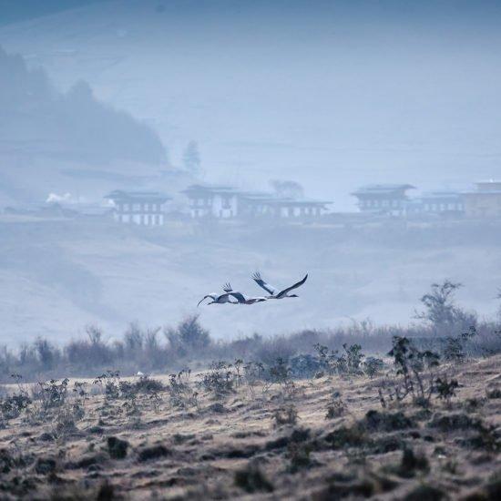Black Necked Crane -