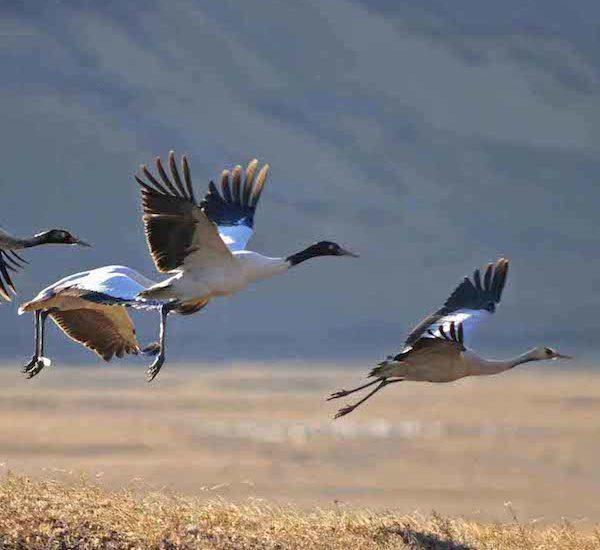 Black necked crane festival tour