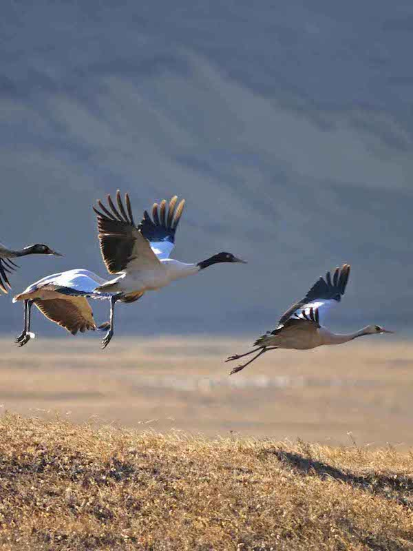 Black necked crane festival tour